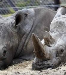 B29d78 rhinos x220
