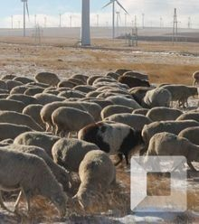F6429b inner mongol herder x220
