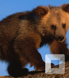 Ac9176 young brown bear canadian population x220