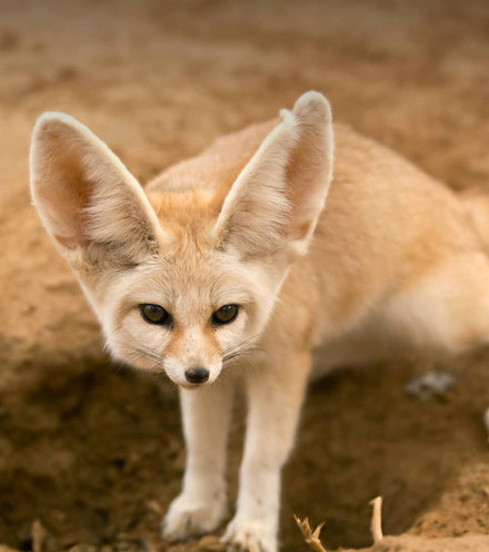389d7c animals hero fennec2 x220