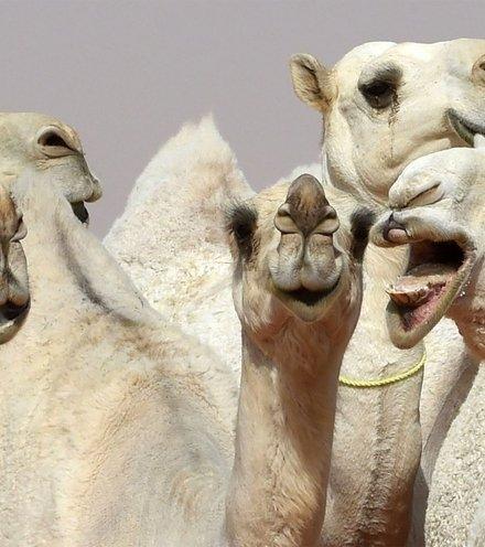 9ddd89 camels 1 x220
