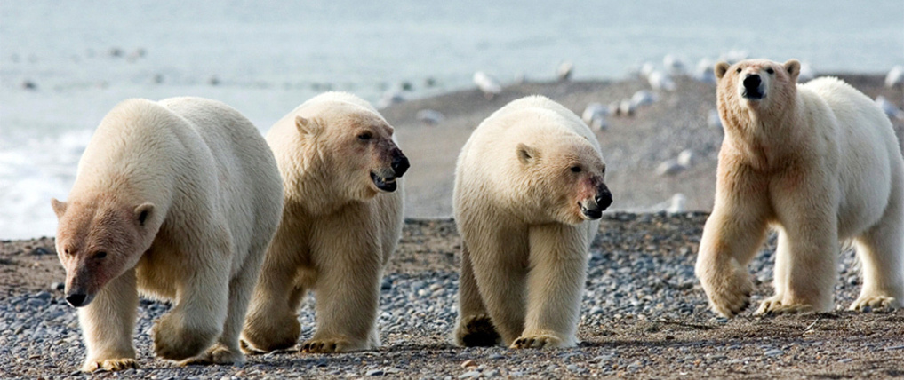 3b2255 white bears h678