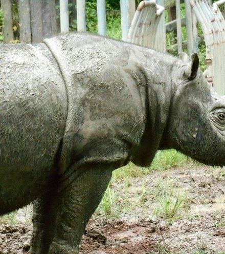 91a9d0 sumatrian rhino x220