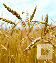 2e3c68 wheat x220