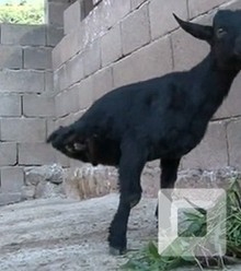 1b6b0a two legged goat x220