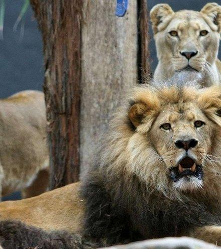 E26d77 lions x220