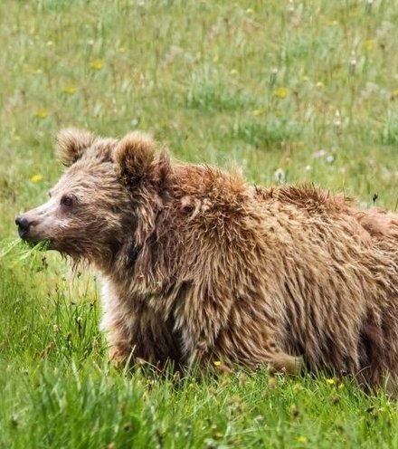 Ad98ab himalayan bear x220