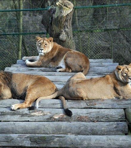 5ae5a3 zoo lions x220