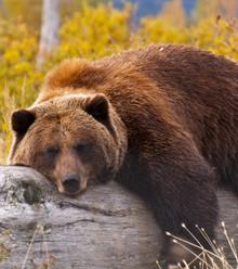 Dbfb9c lazy bear x220