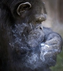 296971 chimp smoking x220