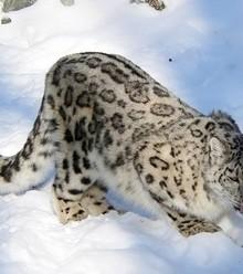 906253 snow leopard2 tourmongolia x220