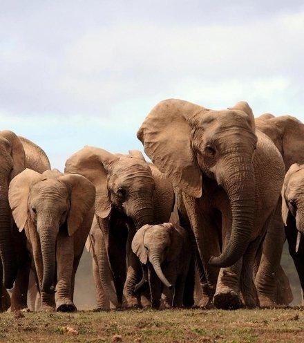 574169 elephant herd africa x220