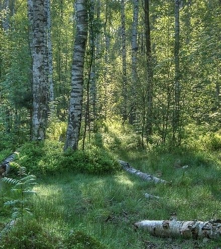 254f45 russian birch forest x220