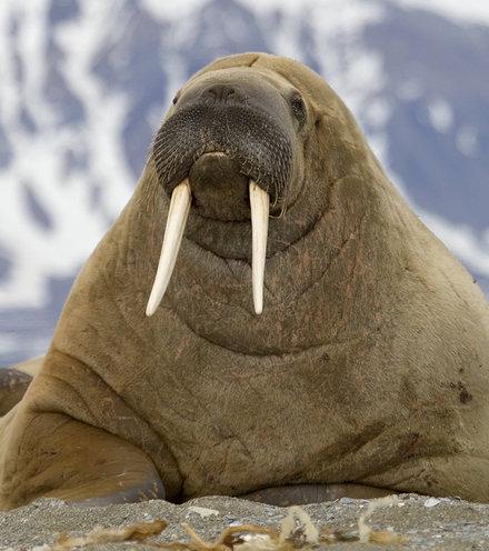 96a555 walrus 2 x220