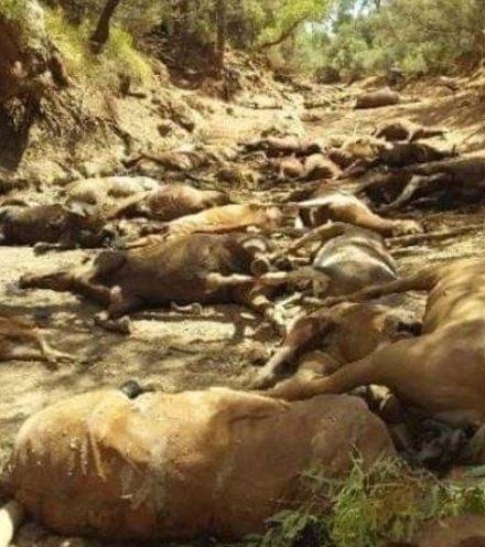 Ea7959 australian horses dead x220
