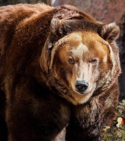Ac28ed bear russian x220