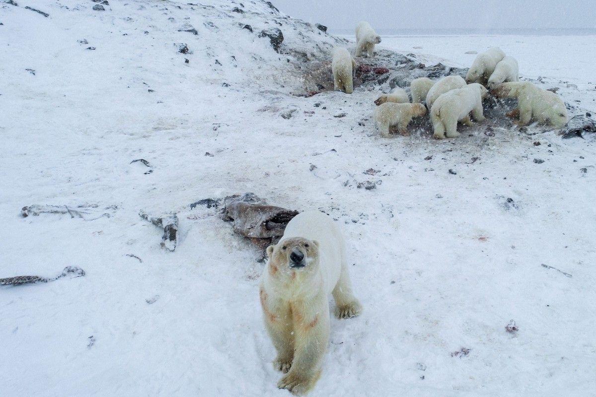 Оросын нэгэн тосгоны захад 50 гаруй цагаан баавгай цугларчээ