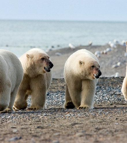 3b2255 white bears x220