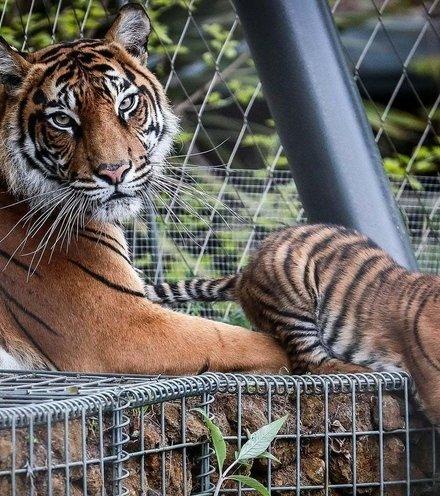 B5b682 sumatrian tiger x220