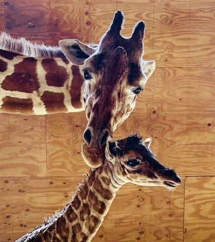 51c750 giraffe youtube star x220