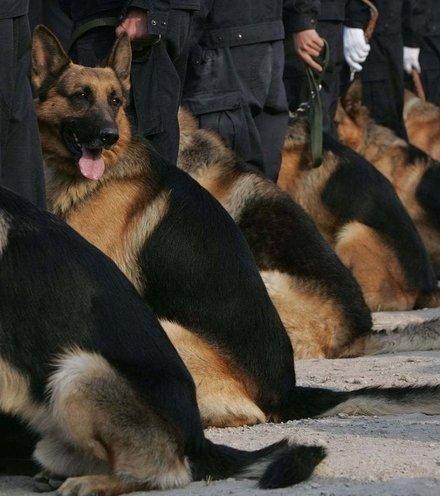 781abd police dog x220