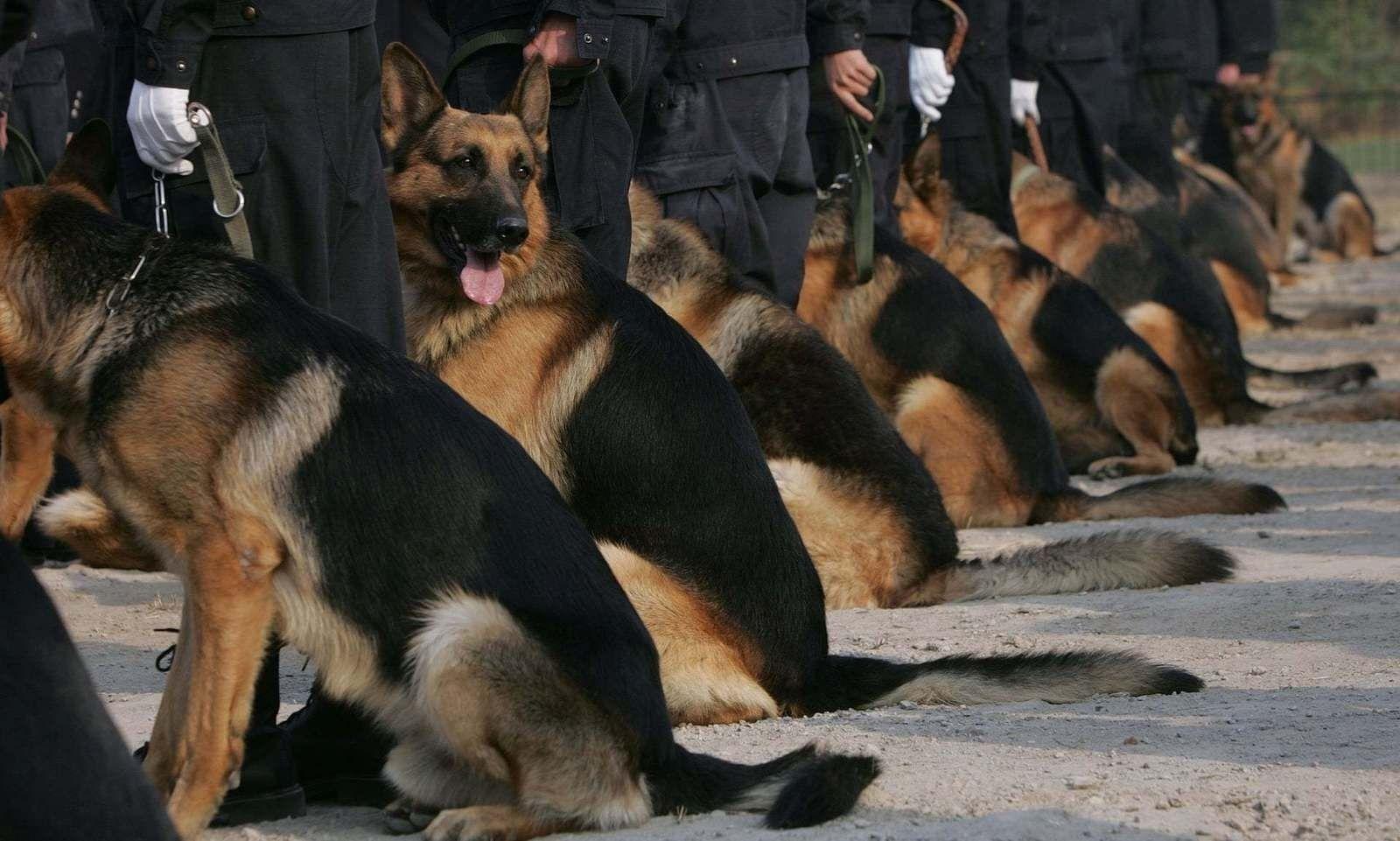 Хятадын эрдэмтэд цагдаагийн мөрч нохойг хувилан олшруулжээ