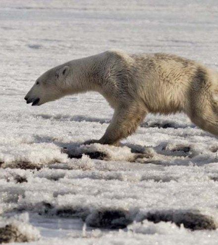 D7163c polar bear x220