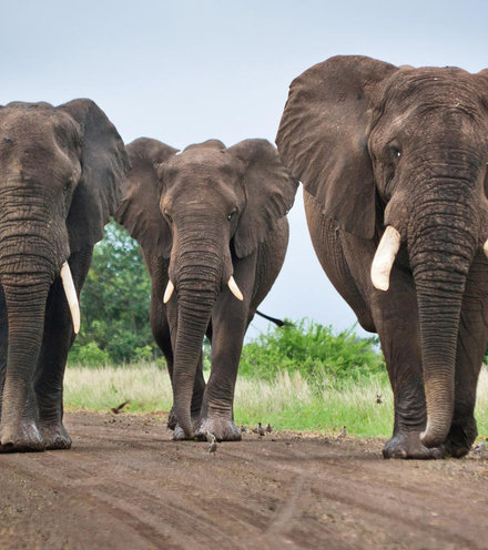 6a1738 african elephants x220