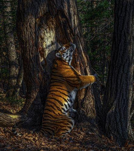 M19eto amur tiger x220