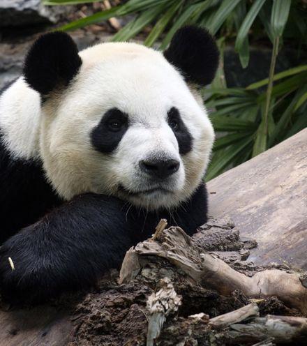 82k1gc panda2 x220