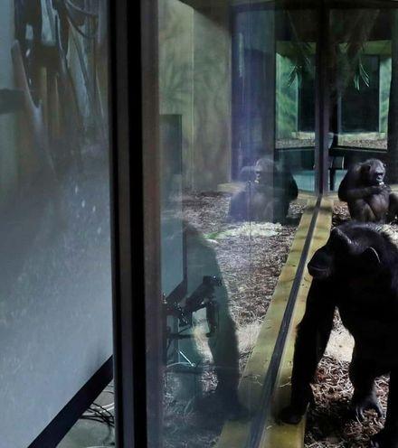 2gozwp chimpanzee zoom x220