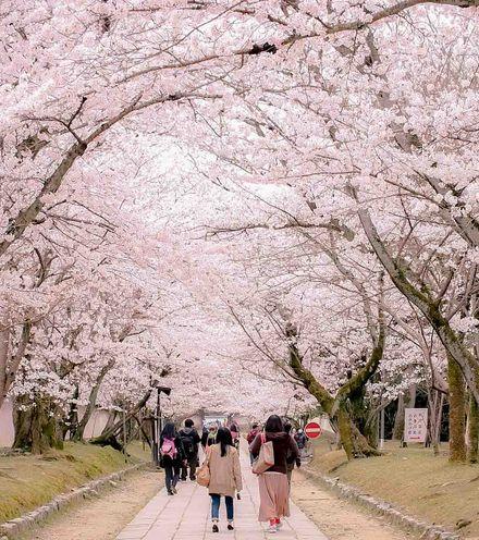 574zsh cherry blossom x220