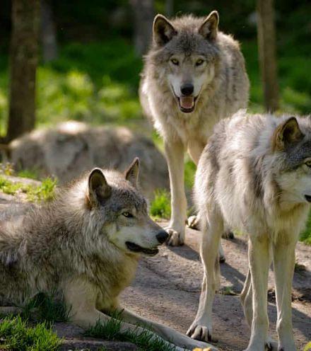 Tujswz grey wolf x220
