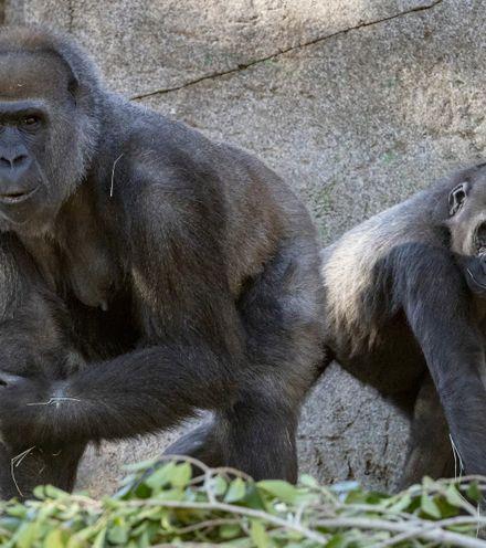 1y2823 gorillas vaccinated x220