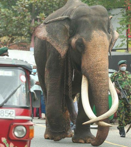 Vexaje sri lanka elephant law x220